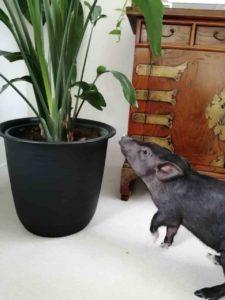 マイクロブタは観葉植物を食べる?